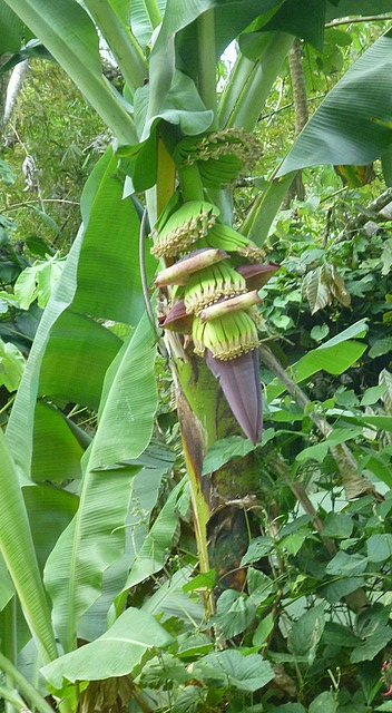 Bananas growing roadside