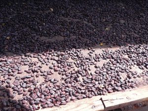Cocoa beans drying in the sun.